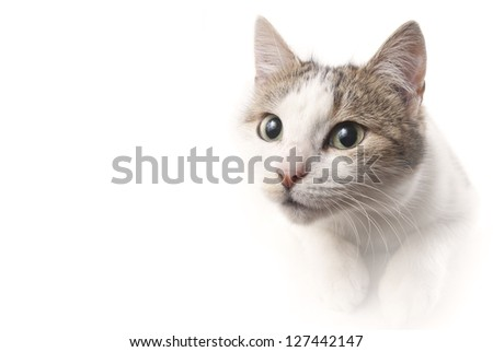 lying cat watching on isolated white background