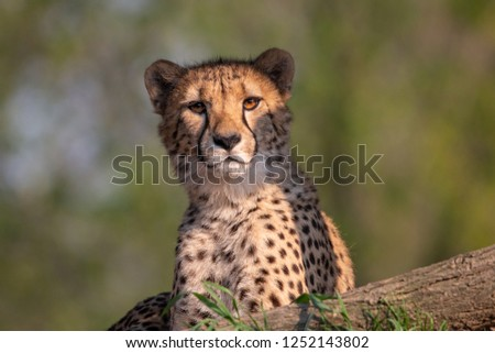 Lying Cheetah portrait with green blurred background. Cheetah (Acinonyx jubatus) is a beautiful spotted cat with black tear-like streaks on the face. #1252143802