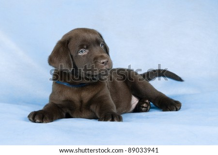 Lying chocolate labrador puppy on blue