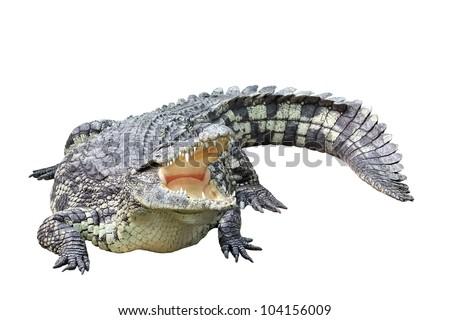 Lying crocodile isolated on white background