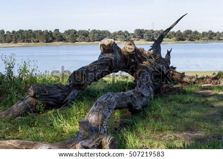 lying dead pine tree