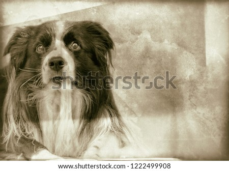 Lying dog on old retro photo in wet plate style. It is vintage classic camera. Dog is black and white border collie with long hair.