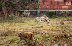 lying dormant buffalo (symbol of the New Year 2021) at the ancient walls of Fort Agra and a walking monkey in the foreground out of focus