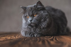 lying down on wood cute British Longhair cat with gray fur looking away distracted on gray studio background