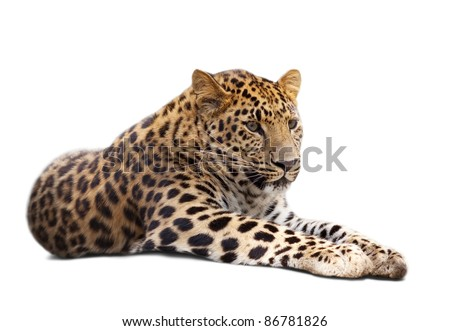 lying leopard over white background