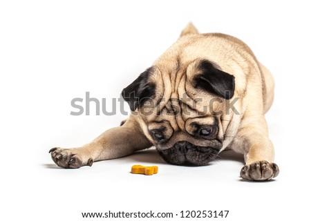 Lying Pug with treat, isolated on White Background. Focus on eyes
