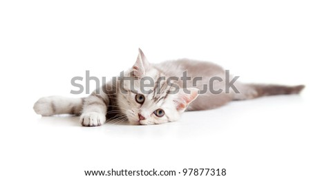 Lying sad british tabby kitten - stock photo