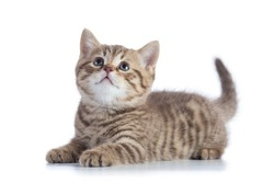 Lying Scottish Straight kitten looking up isolated on white background