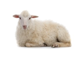 Lying sheep isolated on a white background.