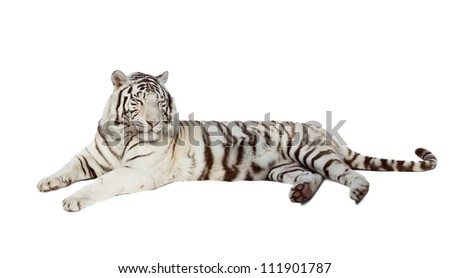 lying white tiger. Isolated  over white background with shade