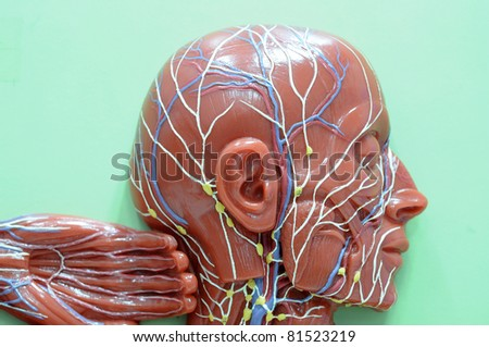lymphatic system of human