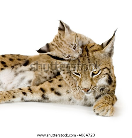 Lynx and her cub in front of a white background