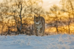 Lynx at frosty sunrise. Young Eurasian lynx, Lynx lynx, walks in snow in cold morning. Cute wild cat in winter nature. Beast of prey in natural habitat. Beautiful animal with spotted orange fur.