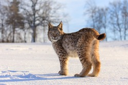 Lynx at frosty sunrise. Young Eurasian lynx, Lynx lynx, walks on snowy meadow in cold morning. Cute wild cat. Winter nature. Beast of prey in natural habitat. Beautiful animal with spotted orange fur.