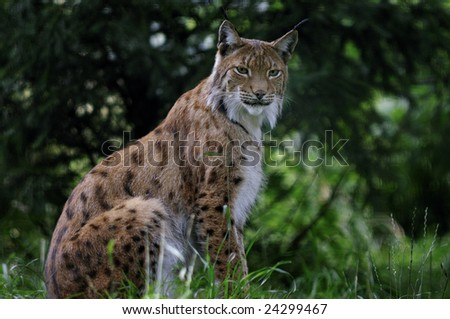 lynx close up portrait