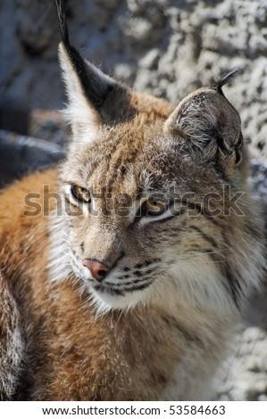 Lynx close-up shot