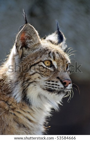 Lynx close-up shot