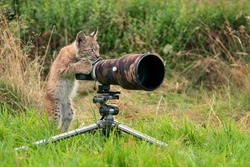 Lynx cub as wildlife photographer. Funny image of lynx acting like a human. Animal photo