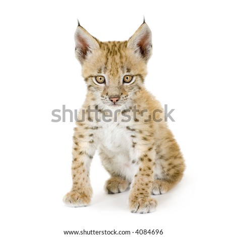 Lynx cub in front of a white background