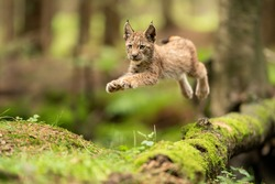 Lynx cub jumpping from fallen mossy tree trunk. Action animal shot. Frozen jump.