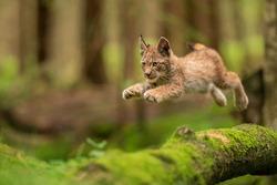 Lynx cub jumpping from fallen mossy tree trunk. Lynx lyynx.