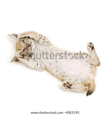 Lynx cub on his back in front of a white background