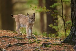 Lynx, Eurasian wild cat walking on green mossy stone with green forest in background. Beautiful animal in the nature habitat, Germany