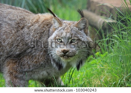 Lynx, female - stock photo