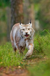 Lynx in green forest. Wildlife scene from nature. Walking Eurasian lynx, animal behaviour in habitat. Wild cat from Germany. Wild Bobcat between the trees. Hunting carnivore in autumn grass.