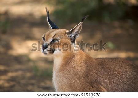 lynx in Harnas Foundation in Namibia