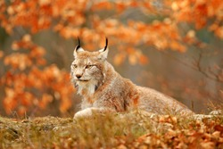 Lynx in orange autumn forest. Wildlife scene from nature. Cute fur Eurasian lynx, animal in habitat. Wild cat from Germany. Wild Bobcat between the tree leaves. Close-up detail portrait.