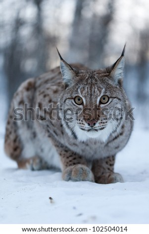 Lynx in snow, Norway