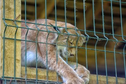 lynx in  the cage eats chicken