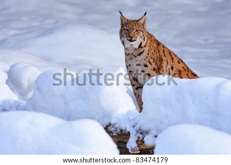 lynx in the snow