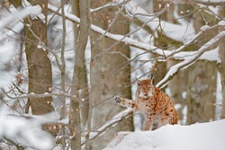 Lynx in winter forest habitat, wild cat in the forest with snow. Wildlife scene from winter nature. Cute big cat in snow, cold condition.  Snowy forest with beautiful animal wild lynx, Austria.
