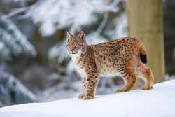 Lynx in winter. Young Eurasian lynx, Lynx lynx, walks in snowy beech forest. Beautiful wild cat in nature. Cute animal with spotted orange fur. Beast of prey in frosty day. Predator in nature habitat.