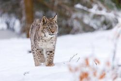 Lynx in winter. Young Eurasian lynx, Lynx lynx, walks in snowy beech forest. Beautiful wild cat in nature. Cute animal with spotted orange fur. Beast of prey in frosty day. Predator in habitat.