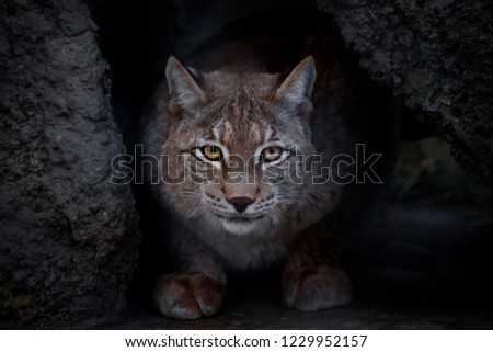 Lynx is a big cat sitting on the ground and ironically looking straight at you. close-up is a glance of a lynx. #1229952157