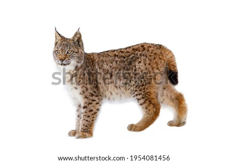 Lynx isolated on white background. Young Eurasian lynx, Lynx lynx, walks in forest having snowflakes on fur. Beautiful wild cat in nature. Cute animal with spotted orange fur. Beast of prey.