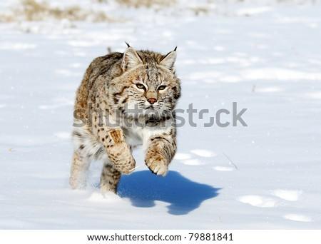 Lynx jumping in fresh snow