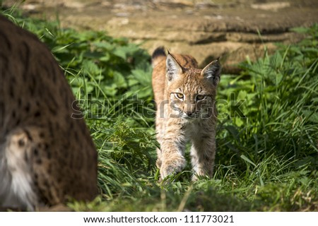 lynx kitten stalking towards camera/Lynx Kitten Stalking