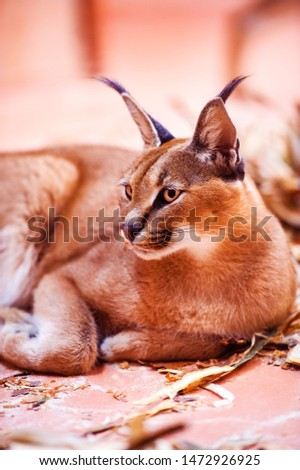 Lynx (Lynx lynx), Eurasian wild cat . Big cat. Animal world. #1472926925