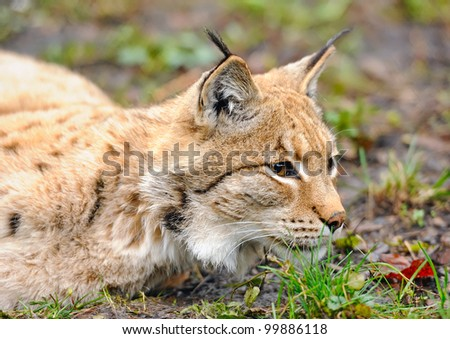 Lynx on the edge of the wood