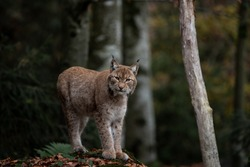 Lynx on the rock in Bayerischer Wald National Park, Germany