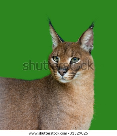 Lynx or Caracal wild cat on green background studio shot