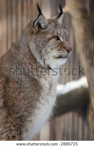 lynx sit and look aside