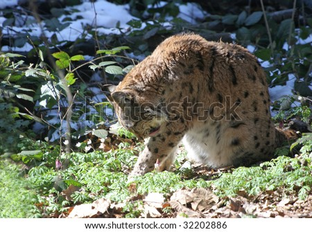 Lynx  sitting in the forest