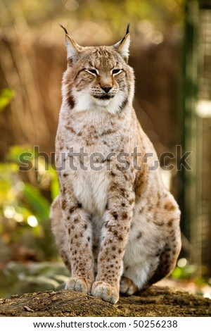 Lynx sitting on the ground
