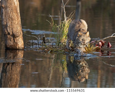 Lynx stepping off into the water.  Shallow depth of field with early morning warm color.  Full facial reflection.