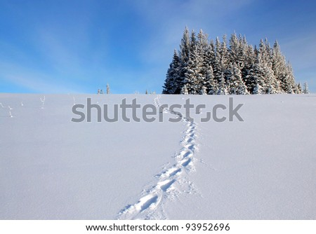 Lynx tracks through a field of open snow leading to a clump of spruce trees in rural Alaska on a sunny day with a blue sky and clouds.